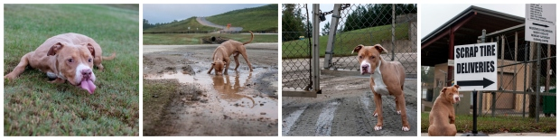 Landfill Dogs Collage (Julius)